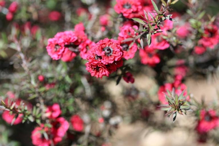 Manuka Honig Blüten
